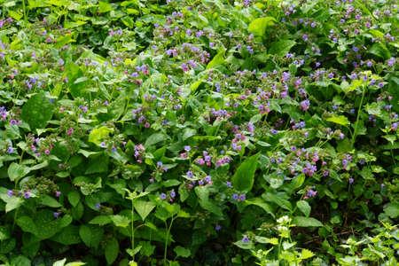 speckle: Lungwort (Pulmonaria officinalis), Duesseldorf, Nordrhein-Westfalen, Germany Stock Photo
