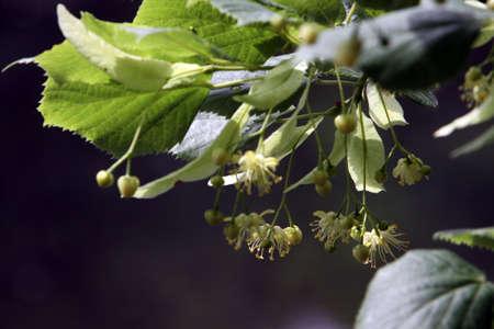 tilia: blossoms of the small-leaved lime (Tilia cordata)