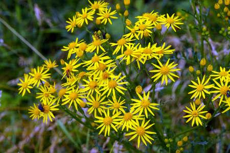 pflanze: Jacobaea vulgaris (Jacobaea vulgaris), Wesel, Nordrhein-Westfalen, Germany