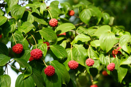 strawberry tree: Strawberry Tree (Arbutus) with fruits, Borgholzhausen, Nordrhein-Westfalen, Germany