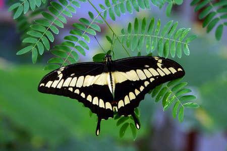 Papilio thoas Editorial