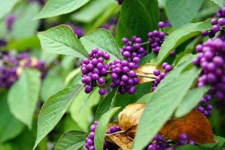 landshut: purple fruits of early lilac (Callicarpa giraldii), Landshut, Bavaria, Germany