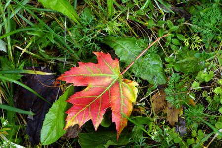 landshut: autumnal colored maple leaf on a meadow, Landshut, Bavaria, Germany