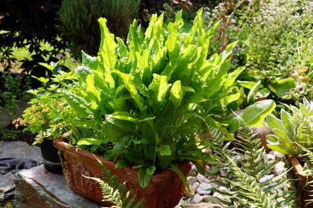 tinge: Sorrel cultivar in Planter, Weilerswist, Nordrhein-Westfalen, Germany