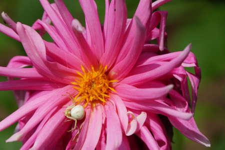 vatia: flower crab spider (Misumena vatia) on dahlia bloom