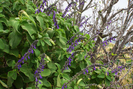 divining: divining sage (Salvia divinorum), Canico, Madeira, Portugal gods tell or say divination Stock Photo