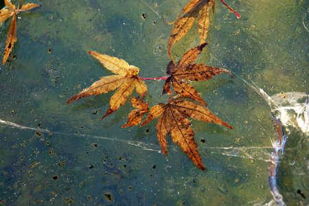 acer palmatum: in ice frozen leaves of Japanese maple (Acer palmatum), Weilerswist, Nordrhein-Westfalen, Germany