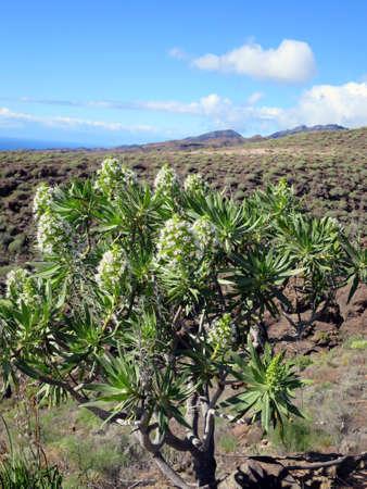 echium: Echium decaisnei, Lomo de tabaibales, Puerto de Mogan, Gran Canaria, Spain