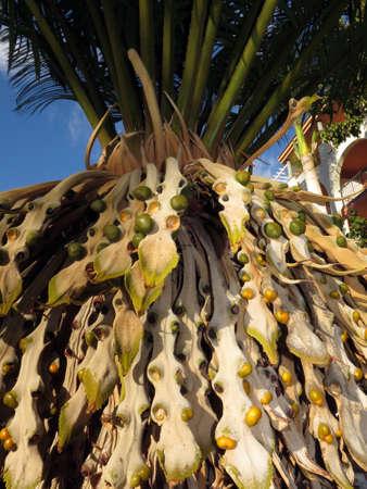 blte: Cycas rumphii, Puerto de Mogan, Gran Canaria, Spain