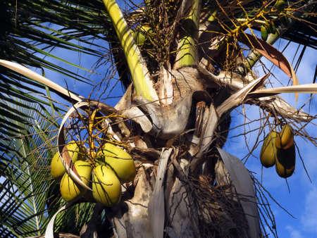 Coconut palm (Cocos nucifera), Puerto de Mogan, Gran Canaria, Spain