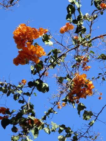 gran canaria: orange bougainvillea hybrids, Puerto de Mogan, Gran Canaria, Spain