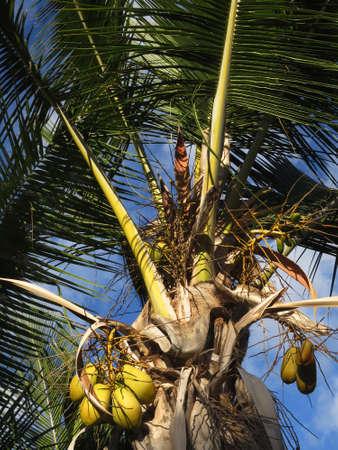 cocos: Coconut palm (Cocos nucifera), Puerto de Mogan, Gran Canaria, Spain