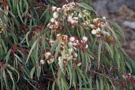 Eucalyptus bloom, Eucalyptus globulus, Puerto de Mogan, Gran Canaria, Spain Standard-Bild