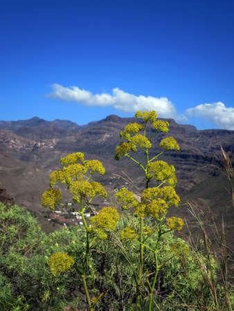 gran canaria: Links fennel (Ferula linkii) - walk in the natural park Pilancones near Ayagaures, San Bartolome de Tirajana, Gran Canaria, Canary Islands, Spain