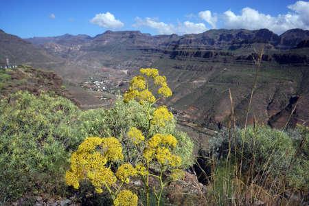 リンク フェンネル (オオウイキョウ linkii) - 自然公園 Ayagaures、サン バルトロメ デ ティラハナ、グラン ・ カナリア島、カナリア諸島、スペインの近