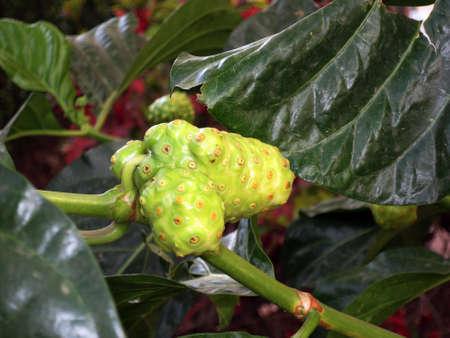 Noni, Indian mulberry, Indian mulberry (Morinda citrifolia, Morinda bracteata), unripe fruit, Puerto de Mogan, Gran Canaria, Spain Stock Photo
