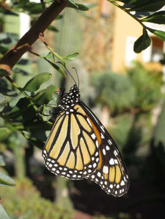 nahaufnahme: Monarch (Danaus plexippus), Puerto de Mogan, Gran Canaria, Canary Islands, Spain