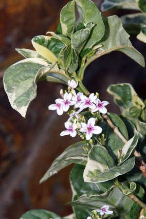 Pseuderanthemum carruthersii var. reticulatum, Puerto de Mogan, Gran Canaria, Spanien