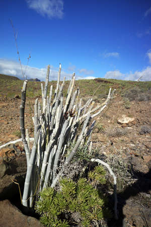 blume: Ceropegia fusca on the Lomo de tabaibales, Puerto, de, Mogan, Gran Canaria, Spain Stock Photo