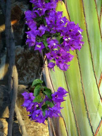 blte: Drillingsblume, Bougainvillie, Bougainville (Bougainvillea spec.), Puerto de Mogan, Gran Canaria, Kanaren, Spanien