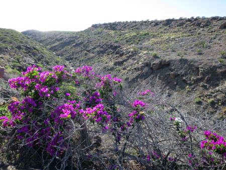 Bougainvillea sp. - hike from Puerto de Mogan on the Lomo de tabaibales, Puerto de Mogan, Gran Canaria, Canary Islands, Spain