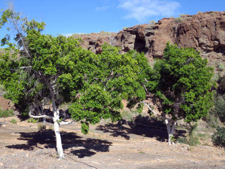 Laurus nobilis, spice laurel (Laurus nobilis) - migration of Puerto de Mogan on the Lomo de tabaibales, Puerto de Mogan, Gran Canaria, Canary Islands, Spain