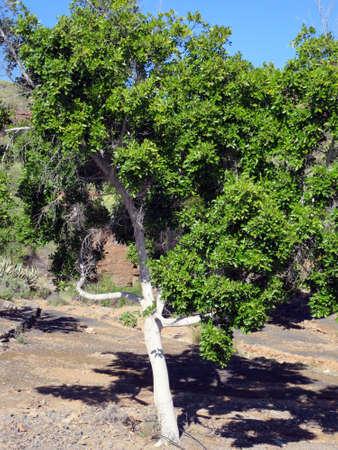 Real bay leaf, spice laurel (Laurus nobilis) - hike from Puerto de Mogan on the Lomo de tabaibales, Puerto de Mogan, Gran Canaria, Canary Islands, Spain Stock Photo