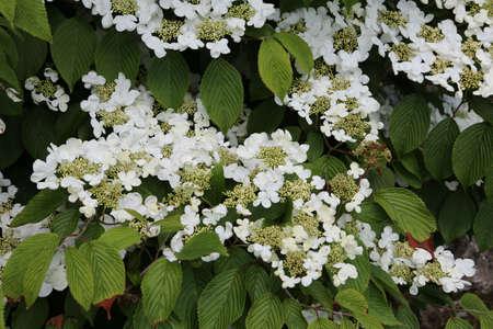 Japan - Snowball Viburnum plicatum, flowering plant in the garden