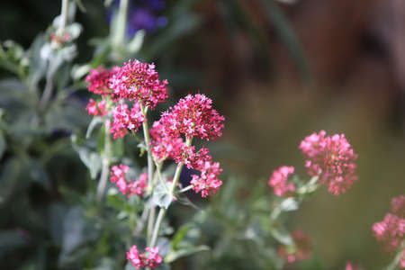 Red valerian (Centranthus ruber) Stock Photo