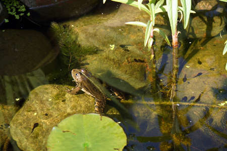 Common water frog (Pelophylax esculentus, Rana esculenta), water frog Stock Photo