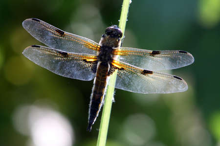 libellula: Four-spotted chaser (Libellula quadrimaculata) Stock Photo