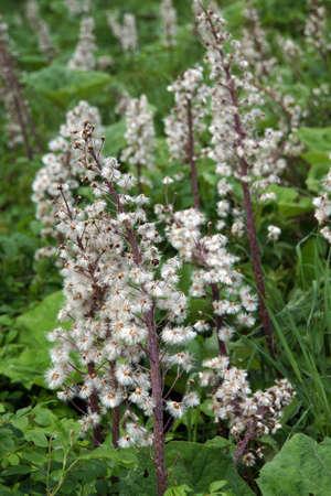 petasites: Infructescence of Common butterbur (Petasites hybridus, Petasites officinalis)