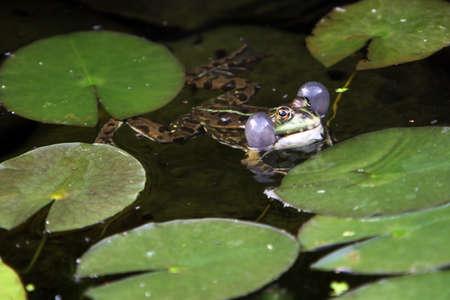 Common water frog (Pelophylax esculentus, Rana esculenta), water frog Stock Photo
