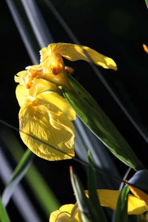 Yellow iris (Iris pseudacorus), water swallow, swamp swallow