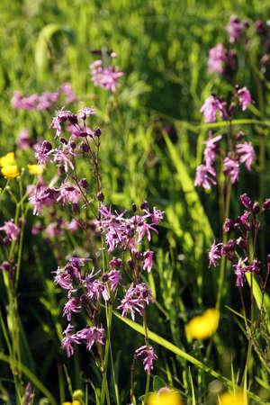 Cuckoo flower (Silene flos-cuculi, Syn. Lychnis flos-cuculi), Neukirchen near Heiligenblut, Bavaria, Germany