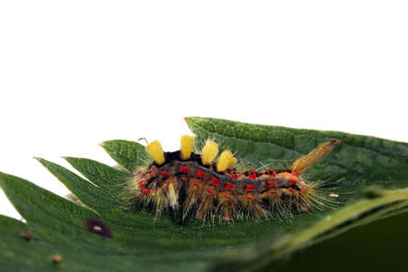 Caterpillar of the scarce vapourer (Orgyia recens), corner patch, on a strawberry leaf