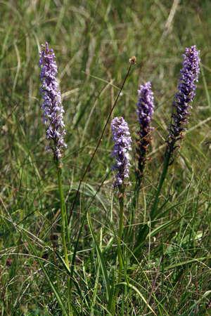 blume: M?cken-H?ndelwurz (Gymnadenia conopsea),  Bad M?nstereifel, Nordrhein-Westfalen, Deutschland