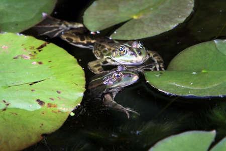 緑のカエル (Pelophylax, ラナ esculenta), 水カエル