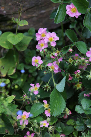 Strawberry plant with pink flowers stock photo picture and royalty stock photo strawberry plant with pink flowers mightylinksfo