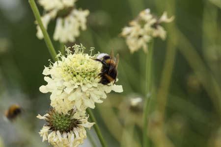 blte: Gelbe Skabiose oder Gelb-Skabiose (Scabiosa ochroleuca)