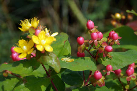 blte: Johanniskraut (Hypericum spec.)