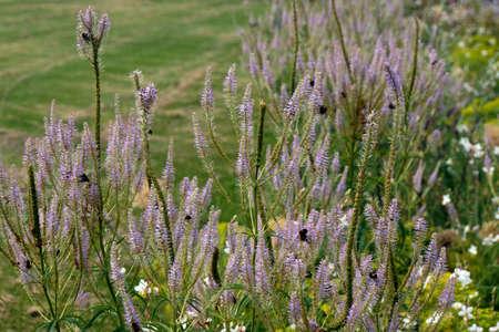 Kandelaber-Ehrenpreis Fascination (Veronicastrum virginicum)