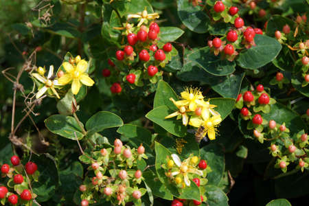blume: Johanniskraut (Hypericum spec.)