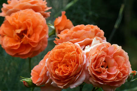 nahaufnahme: orange Strauchrose, kletterrose