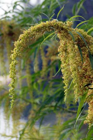 blte: verbl?hte  Baum-Fiederspiere (Sorbaria arborea) Stock Photo