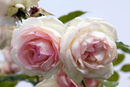 nahaufnahme: rosa Strauchrose, kletterrose