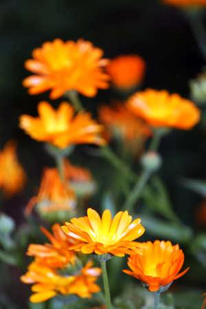 blume: Ringelblume (Calendula officinalis)