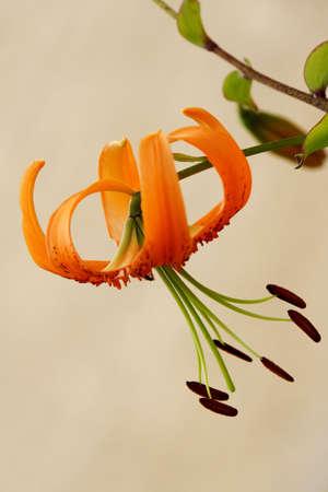 blte: Lilie (Lilium spec.)