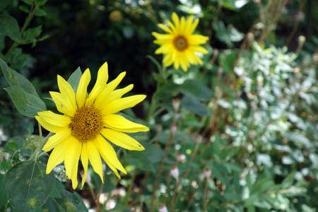 blume: Sonnenblume (Helianthus annuus)