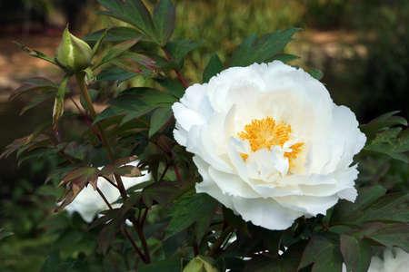 blte: white Paeonia spec.